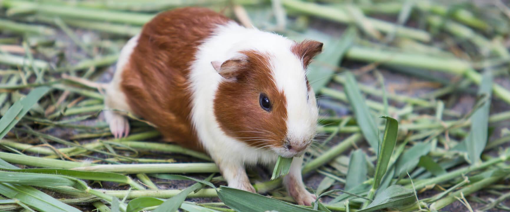 Guinea Pig Veterinarian