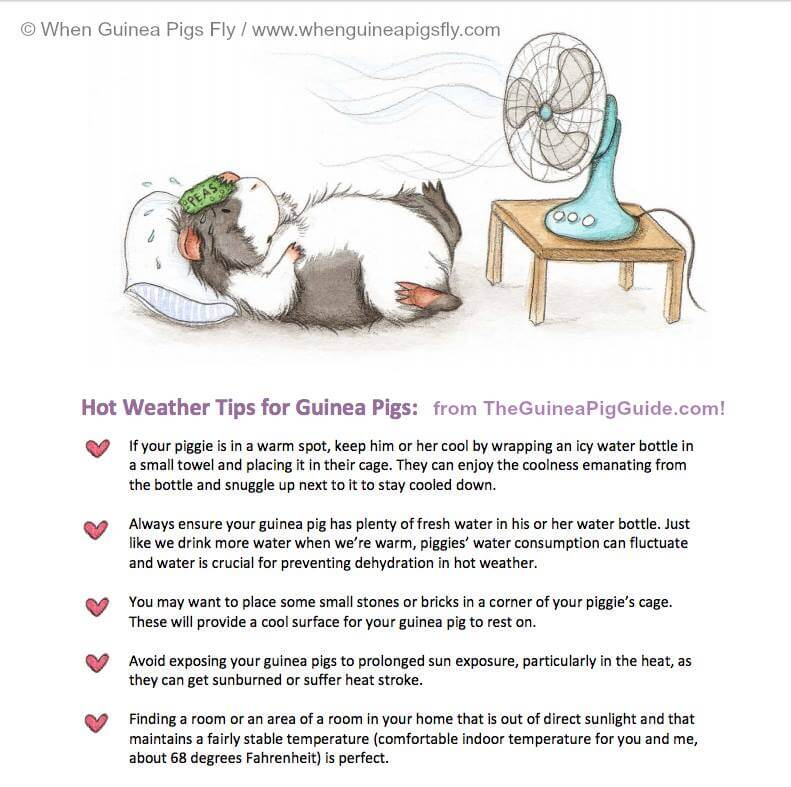 Preventing Heat Stroke for Guinea Pigs this Summer