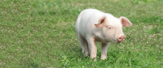 Mini Pigs Veterinarian