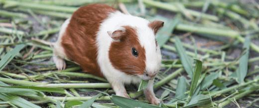 Guinea Pig Veterinarian in Anaheim, CA