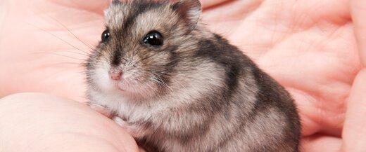 Hamster Veterinarian